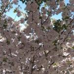 枝が重そうなくらい咲いてます。